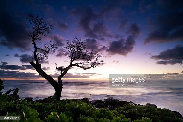 ハワイのシルエットで、コアの木