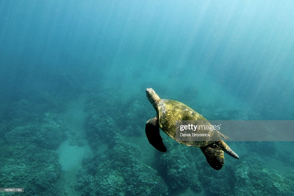 Hawaiian Green Sea Turtle : Stock Photo