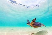 A Hawaiian Green Sea Turtle cruises in the warm waters of the Pacific Ocean in Hawaii