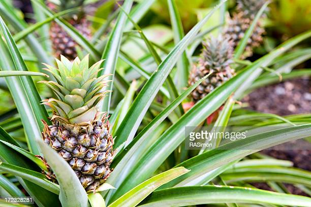 Hawaiian Pineapples