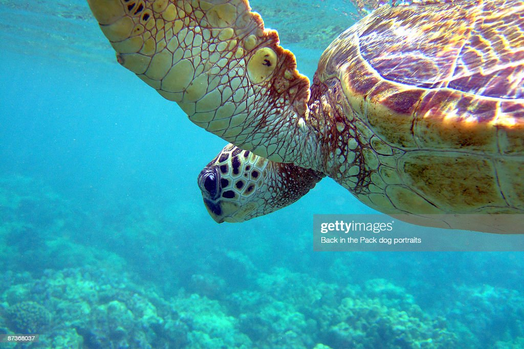 Hawaiian Sea Turtle in blue water above coral : Stock Photo