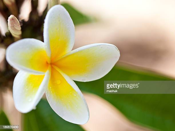 Hawaiian yellow plumeria
