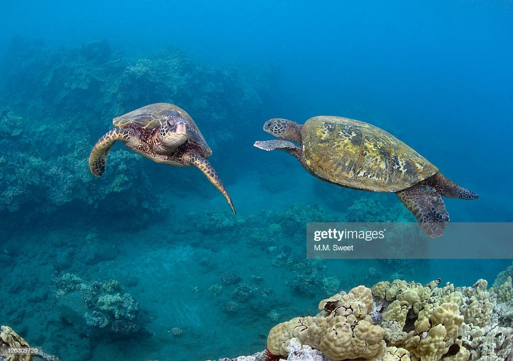 Hawaii-two-turtles : Stock Photo