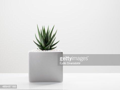 Hawarthia in a white planter