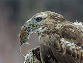 Hawk Eating Mouse
