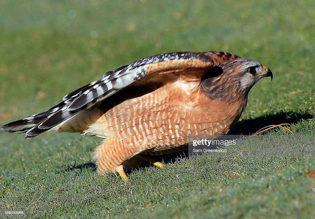 A hawk eats an insect during the second round of the Children's Miracle Network Hospitals Classic at the Disney Palm and Magnolia course on November 9, 2012 in Lake Buena Vista, Florida.