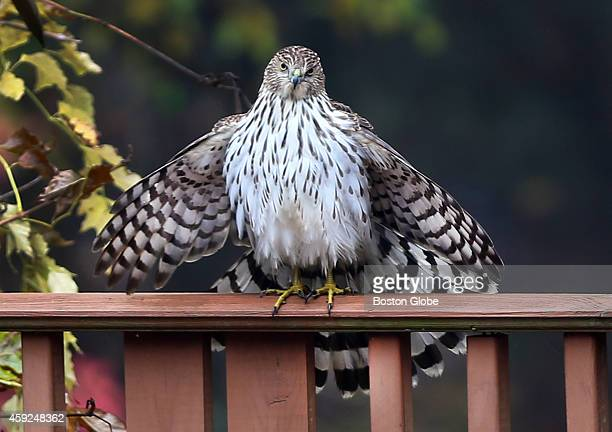A hawk finds a perch on the railing of a deck in a Pembroke Mass backyard