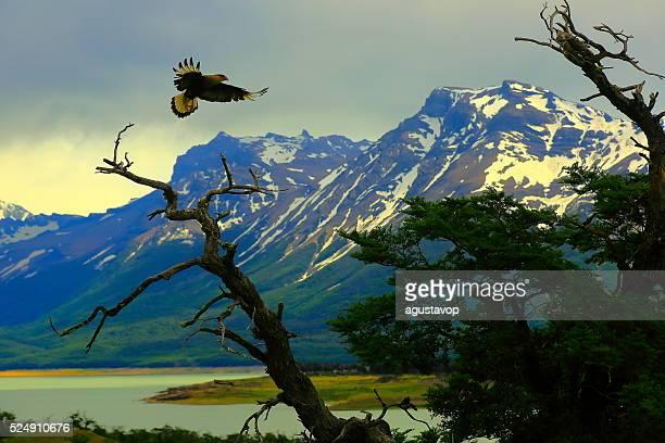 Hawk flying, Patagonia Argentina near El Calafate, Perito Moreno Glacier