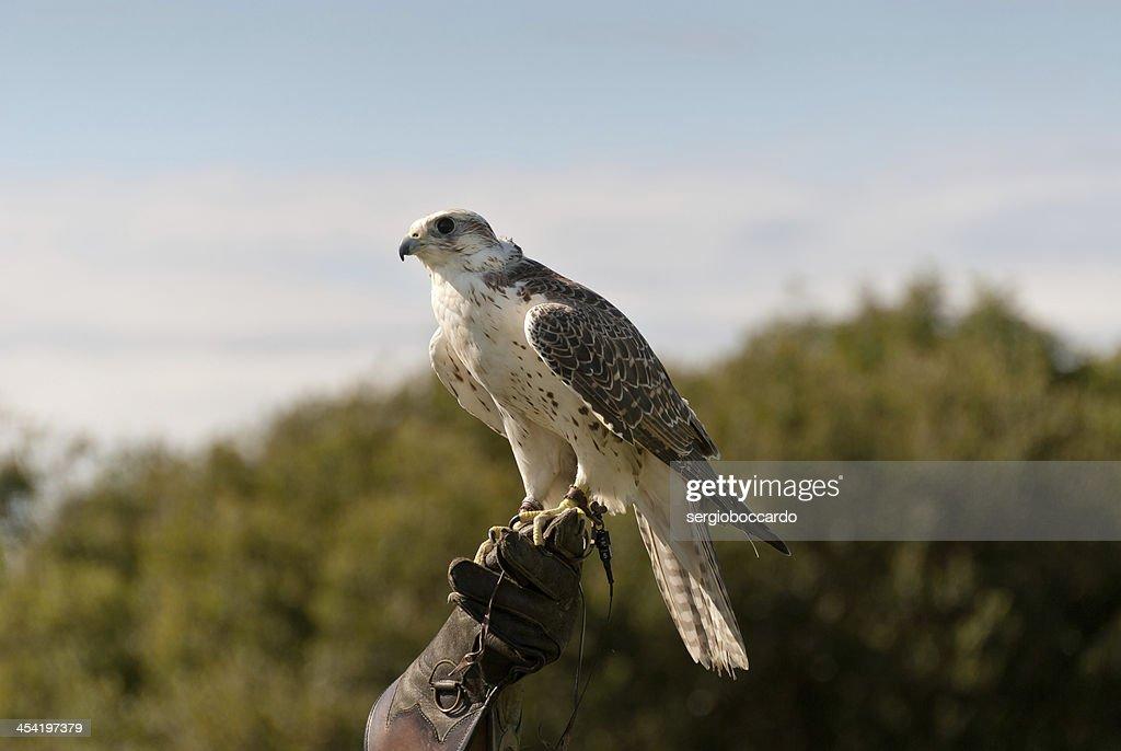 hawk in Cornwall : Stock Photo