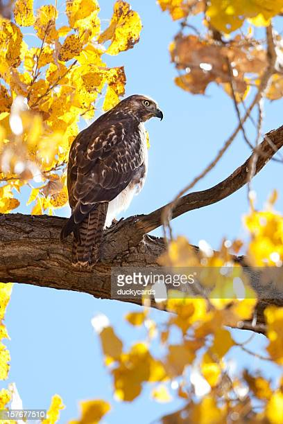 Hawk in Cottonwood Tree with Fall Colors