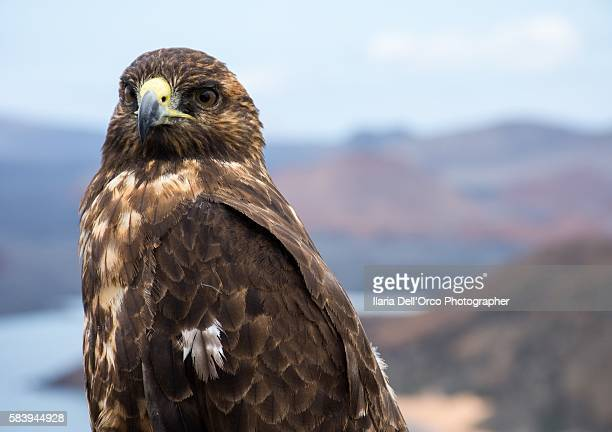 Hawk in San Bartolome Isla, Galapagos