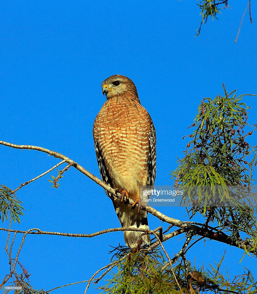 A hawk is seen during the first round of the Children's Miracle Network Hospitals Classic at the Disney Palm and Magnolia course on November 8, 2012 in Lake Buena Vista, Florida.