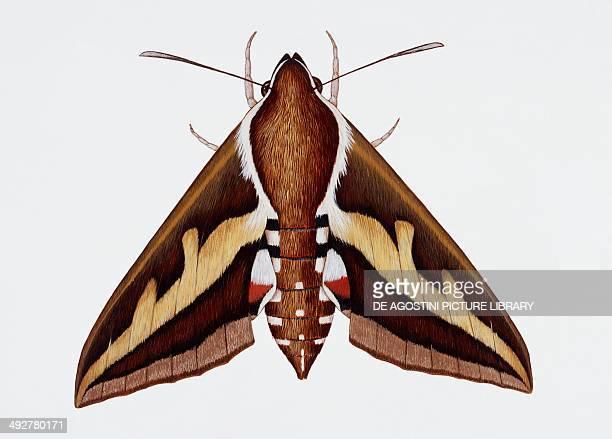 Hawk moth or Leafy spurge hawk moth Sphingidae Artwork by Barry Croucher