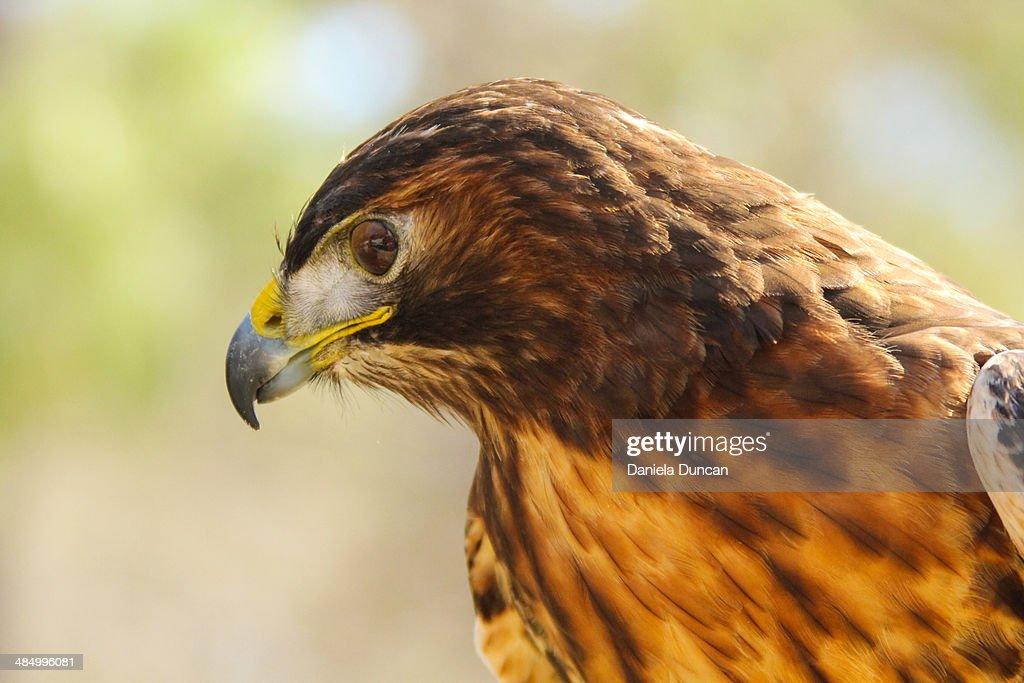 Hawk profile : Stock Photo