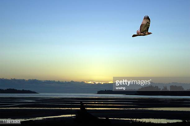 Hawk Soaring at Sunrise