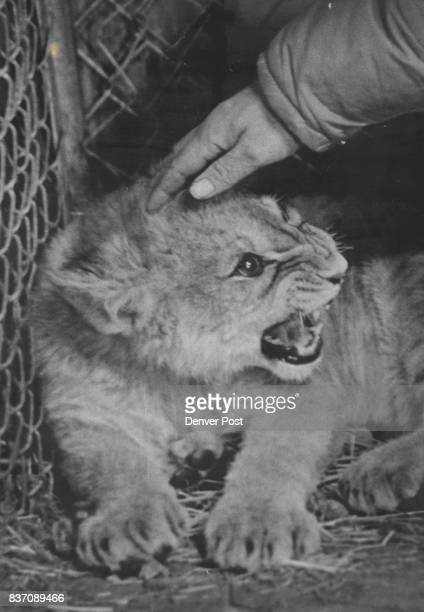 Hawkins Robert Wild Animals Credit Denver Post Inc