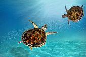 hawks bill sea turtle dive down into the deep blue ocean against the sunlight