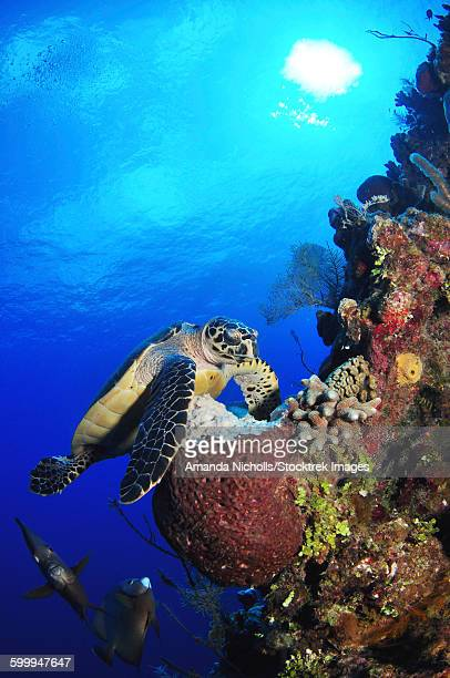 Hawksbill sea turtle and gray angelfish by coral reef, USS Kittiwake, Grand Cayman.