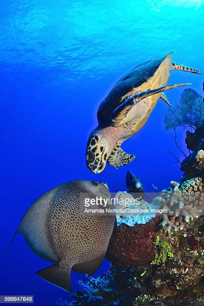 Hawksbill sea turtle and gray angelfish share a special moment, Castle Wall, Grand Cayman.