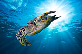 hawksbill sea turtle dive down into the deep blue ocean against the sunlight