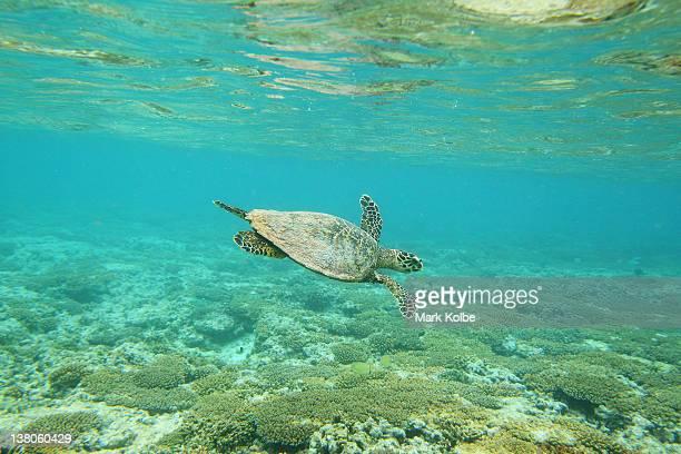 Hawksbill sea turtle is seen swimming on January 14 2012 at Lady Elliot Island Australia Lady Elliot Island is one of the three island resorts in the...