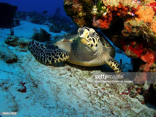 A hawksbill sea turtle resting under a reef in Cozumel, Mexico.