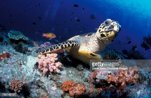 Hawksbill sea turtle, South Ari Atoll, Maldives.