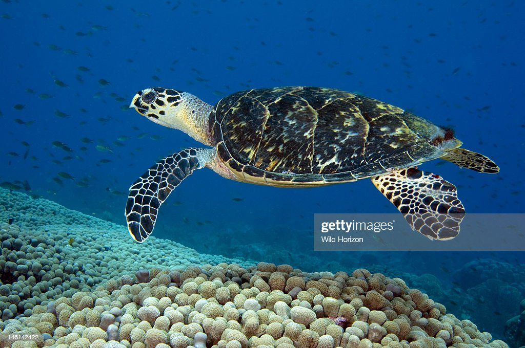 Hawksbill sea turtle (Eretmochelys imbricata) swimming over a coral reef, Curacao, Netherlands Antilles,