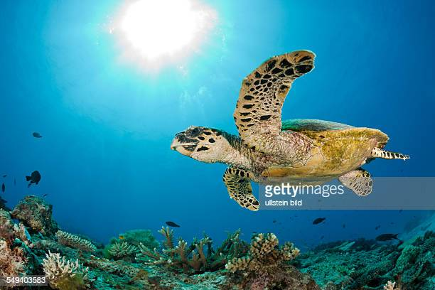 Hawksbill Turtle Eretmochelys imbricata Namena Marine Reserve Fiji