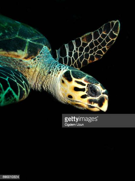 Hawksbill Turtle, Eretmochelys imbricata, Red Sea,Egypt