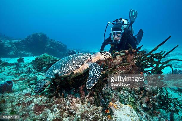 A Hawksbill Turtle meets a scuba diver
