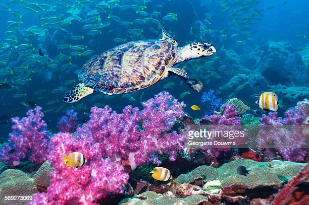 Hawksbill turtle over soft corals