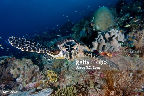Hawksbill Turtle : Stock Photo