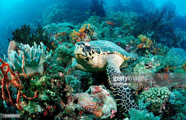 Hawksbill turtle (Eretmochelys imbricata), Waktobi, Celebes Sea, Sulawesi, Indonesia