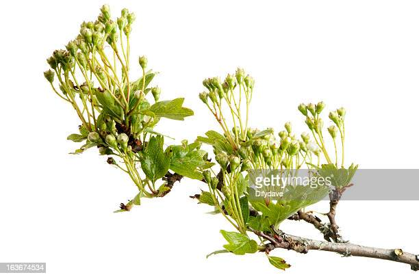 Hawthorn Blossom Flower Wallpaper: White Hawthorn Flower Stock Photos And Pictures