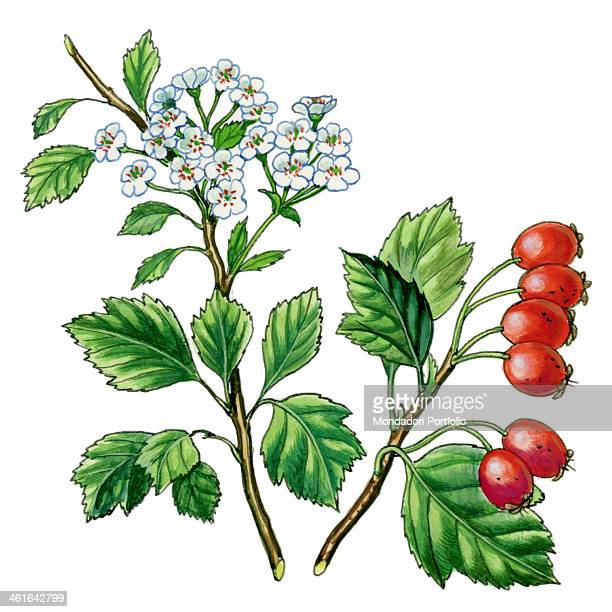 Hawthorn by Giglioli E 20th Century ink and watercolour on paper Whole artwork view Drawing of the plant with fruits and flowers