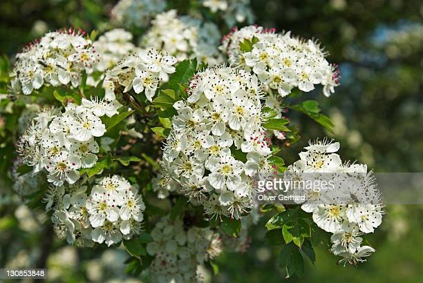 Hawthorn in flower, Ruegen island, Mecklenburg Western Pomerania, Germany, Europe