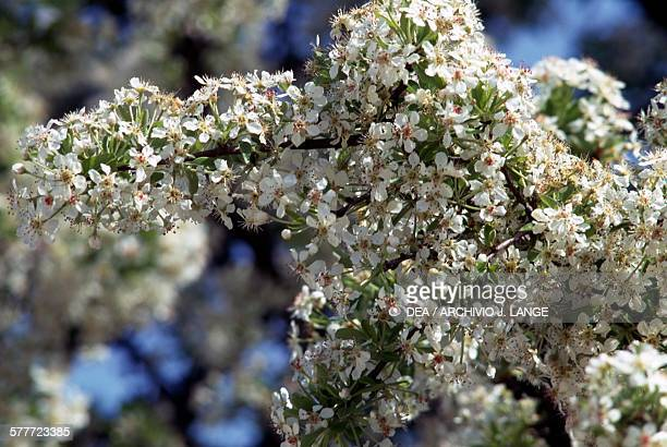Hawthorn Rosaceae detail Crete Greece