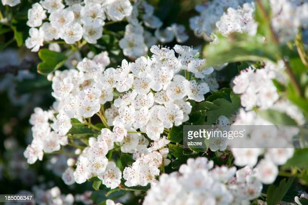 Hawthorn tree flowers