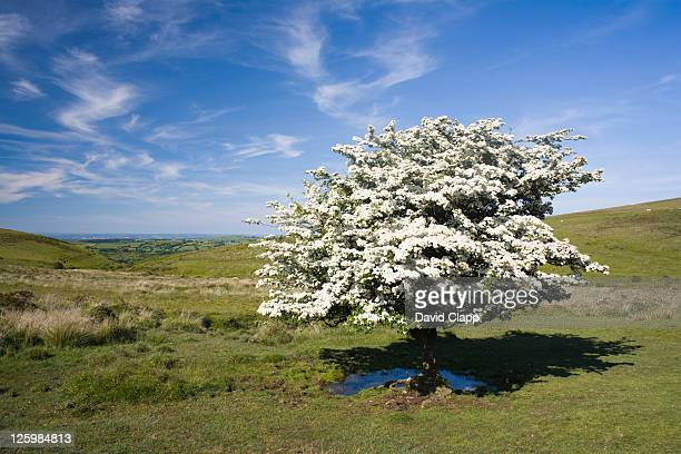 Hawthorn tree (Crataegus monogyna) in full summer blossom at Challocombe Cross, Dartmoor, Devon, England