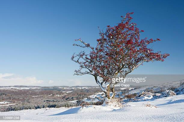 Hawthorn tree still with red berries in winter snow on Dartmoor, Devon, England, UK