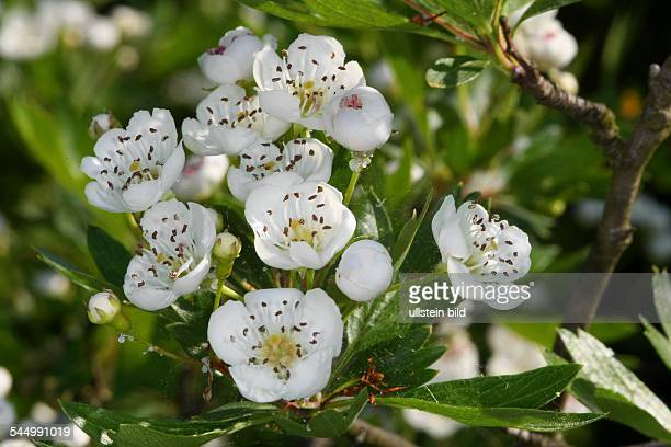 hawthorn whitethorn