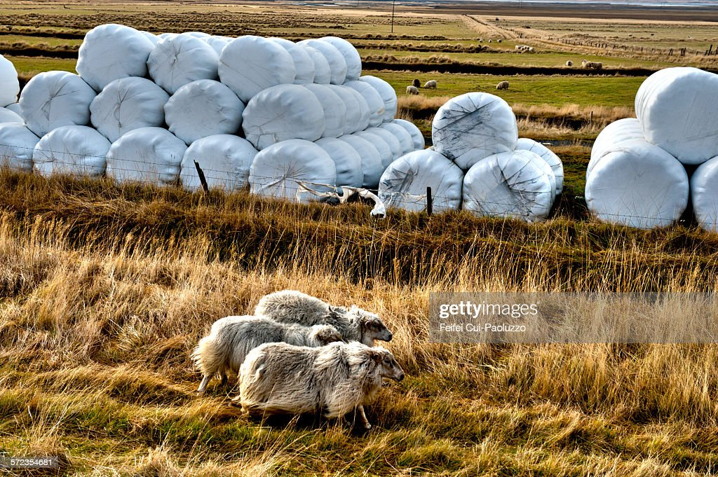 Hay bale and sheeps at Kirkjubæjarklaustur Iceland