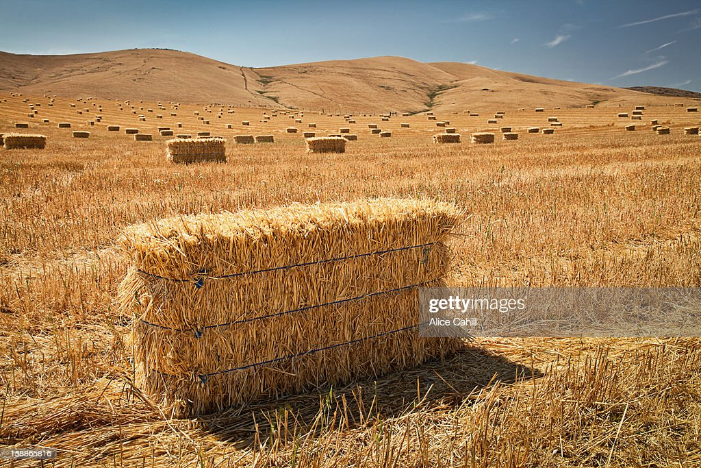 Hay bales in a golden field, pattern, harvest : Stock Photo
