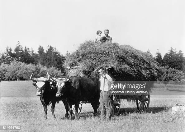 Hay Wagon and Oxen Massachusetts USA circa 1915