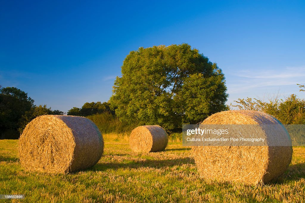Haybales rolled in field of grass : Stock Photo