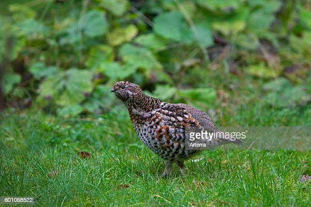 Hazel grouse / hazel hen female foraging