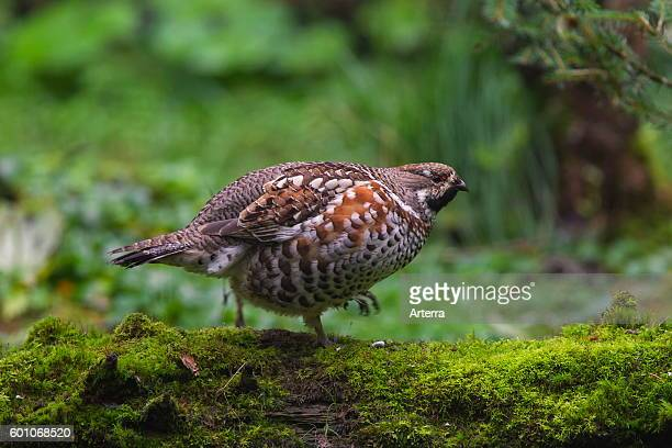 Hazel grouse / hazel hen male foraging in forest
