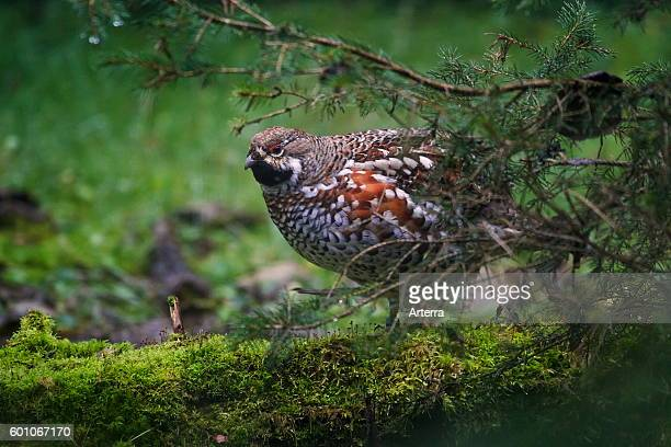 Hazel grouse / hazel hen male in forest