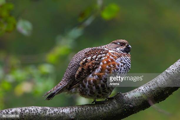 Hazel grouse / hazel hen male perched in tree